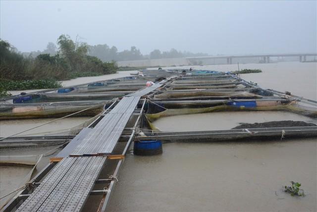 Người dân Quảng Nam chua xót nhìn 60 tấn cá bị lũ cuốn trôi - Ảnh 1.