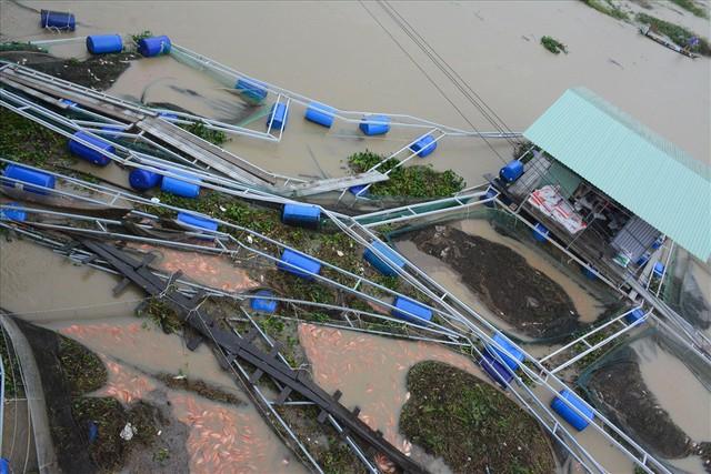 Người dân Quảng Nam chua xót nhìn 60 tấn cá bị lũ cuốn trôi - Ảnh 2.