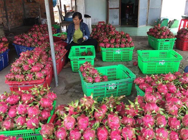 Thanh long có giá cao trở lại, nhà vườn Bình Thuận kỳ vọng vụ tết - Ảnh 4.