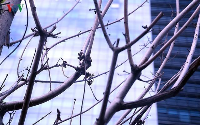 Hàng cây phong ở Hà Nội trơ cành, khô héo ngay đầu mùa đông - Ảnh 11.