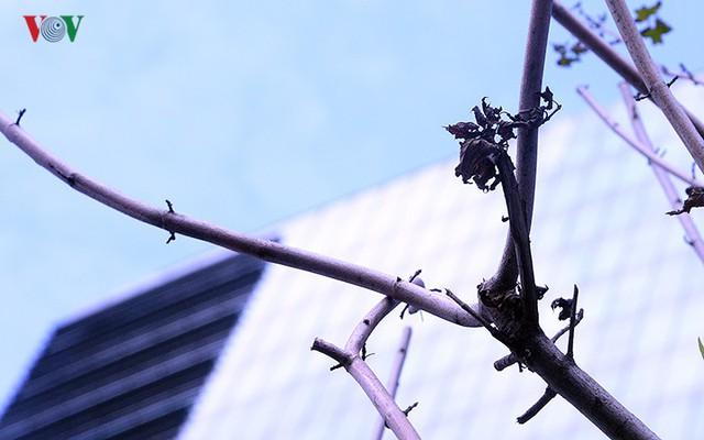 Hàng cây phong ở Hà Nội trơ cành, khô héo ngay đầu mùa đông - Ảnh 12.