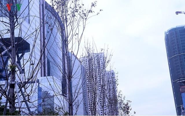 Hàng cây phong ở Hà Nội trơ cành, khô héo ngay đầu mùa đông - Ảnh 3.