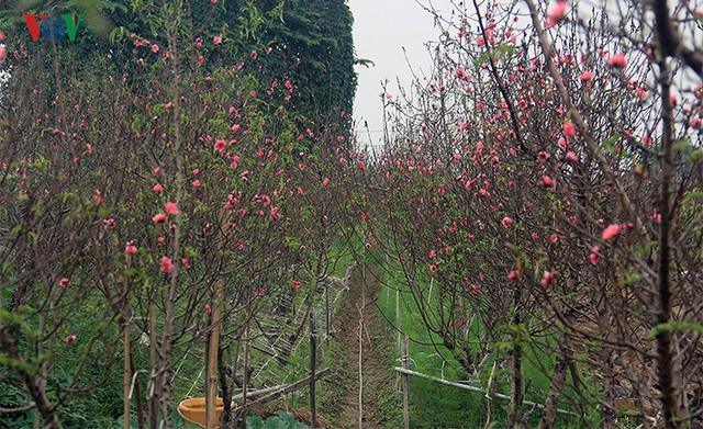Đào nở bung đỏ rực trước Tết dương lịch, người trồng thấp thỏm sợ thất thu - Ảnh 1.