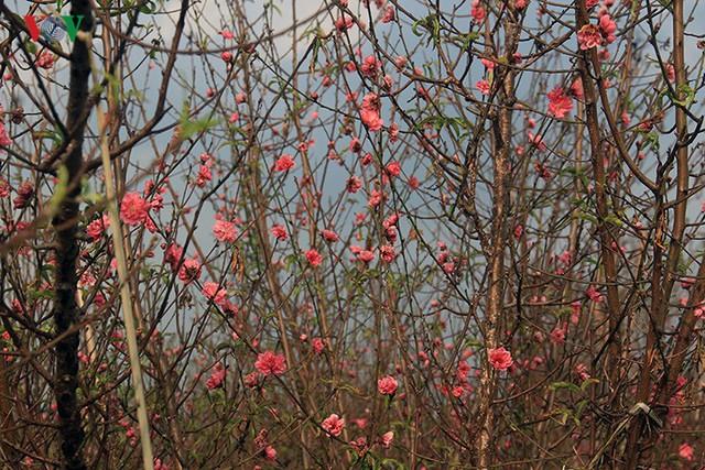 Đào nở bung đỏ rực trước Tết dương lịch, người trồng thấp thỏm sợ thất thu - Ảnh 2.