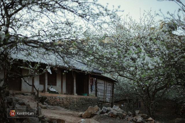 Những ngày cận Tết, hoa mận trắng nở rộ Mộc Châu đẹp đến mê mẩn - Ảnh 13.