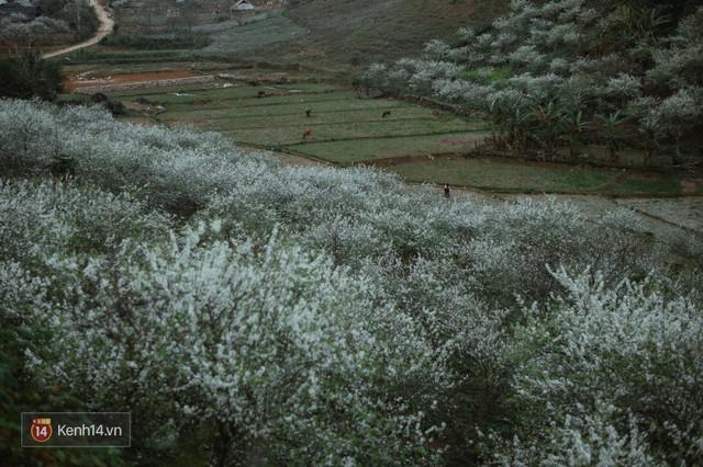 Những ngày cận Tết, hoa mận trắng nở rộ Mộc Châu đẹp đến mê mẩn - Ảnh 16.