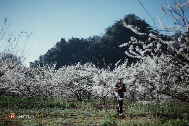Những ngày cận Tết, hoa mận trắng nở rộ Mộc Châu đẹp đến mê mẩn - Ảnh 7.