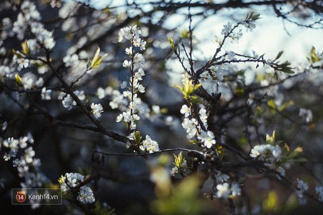 Những ngày cận Tết, hoa mận trắng nở rộ Mộc Châu đẹp đến mê mẩn - Ảnh 10.