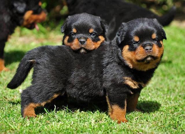 9 giống chó đắt tiền nhất thế giới, và Việt Nam có 1 trong số đó - Ảnh 8.