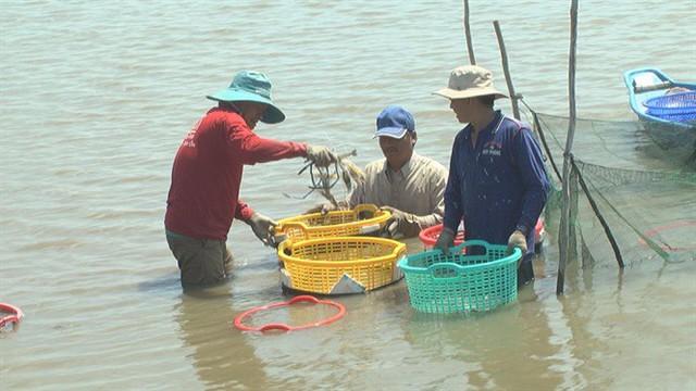 Cận cảnh niềm vui thu hoạch tôm càng xanh sau tết được mùa, được giá - Ảnh 2.