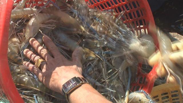 Cận cảnh niềm vui thu hoạch tôm càng xanh sau tết được mùa, được giá - Ảnh 5.