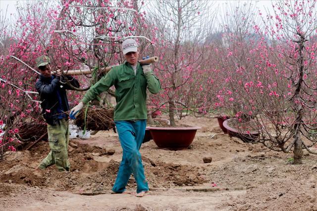Nông dân đi đánh gốc đào thuê: Mỗi ngày kiếm tiền triệu - Ảnh 2.