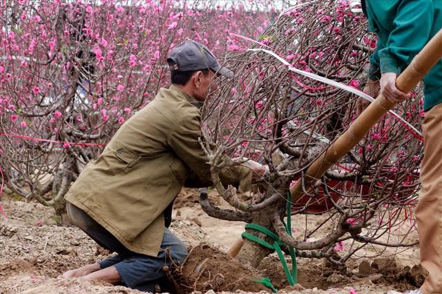 Nông dân đi đánh gốc đào thuê: Mỗi ngày kiếm tiền triệu - Ảnh 4.