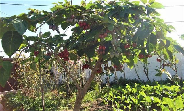 Cà chua lạ đắt gấp 50 lần cà chua thông thường vẫn đắt khách - Ảnh 1.