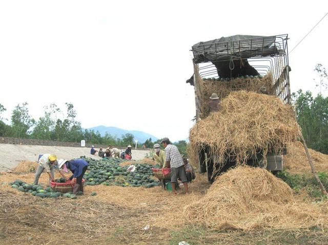 Giá dưa hấu tăng cao, người trồng lãi to - Ảnh 1.