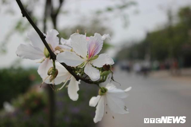 Ảnh: Chiêm ngưỡng hoa ban Tây Bắc nhuộm trắng con đường ven đô Hà Nội - Ảnh 2.