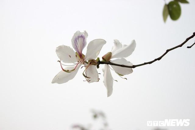 Ảnh: Chiêm ngưỡng hoa ban Tây Bắc nhuộm trắng con đường ven đô Hà Nội - Ảnh 7.
