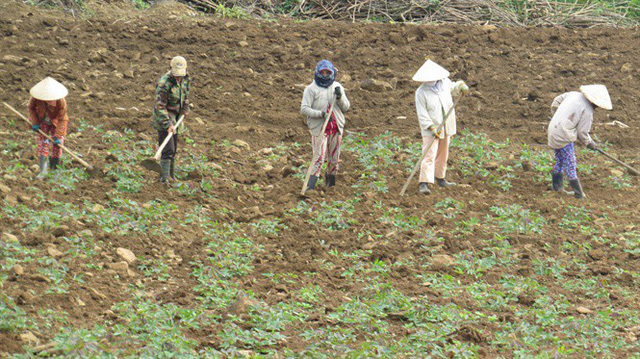 Phú Yên: Nhà máy thờ ơ với người trồng sắn - Ảnh 1.