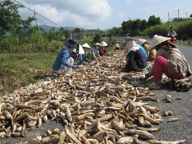 Phú Yên: Nhà máy thờ ơ với người trồng sắn - Ảnh 2.