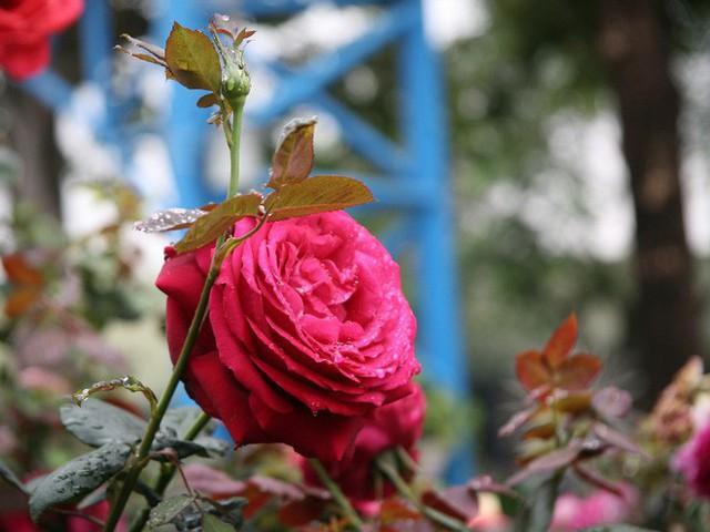 Cận cảnh Lễ hội hoa hồng Bulgaria lần thứ 2 trước giờ khai mạc  - Ảnh 4.