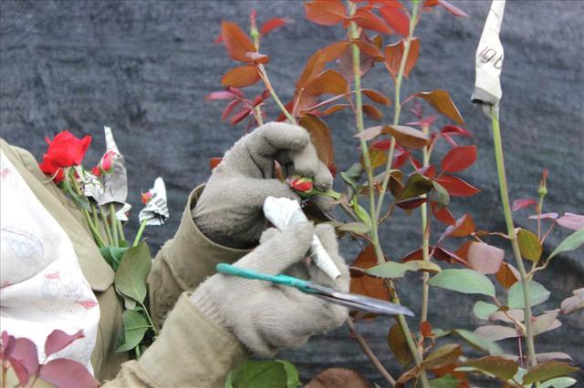Làng hoa Tây Tựu trầm lắng dù cận ngày Quốc tế Phụ nữ 8.3 - Ảnh 6.