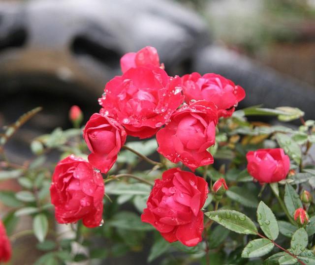 Cận cảnh Lễ hội hoa hồng Bulgaria lần thứ 2 trước giờ khai mạc  - Ảnh 8.