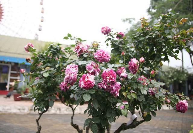 Cận cảnh Lễ hội hoa hồng Bulgaria lần thứ 2 trước giờ khai mạc  - Ảnh 9.