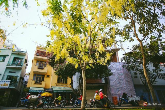 Chùm ảnh: Hoa Osaka rực rỡ nhuộm vàng đường phố Sài Gòn trong cái nắng tháng 4 - Ảnh 1.