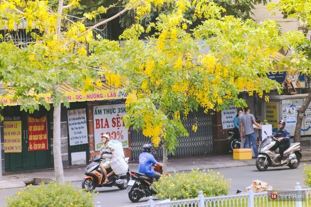 Chùm ảnh: Hoa Osaka rực rỡ nhuộm vàng đường phố Sài Gòn trong cái nắng tháng 4 - Ảnh 12.