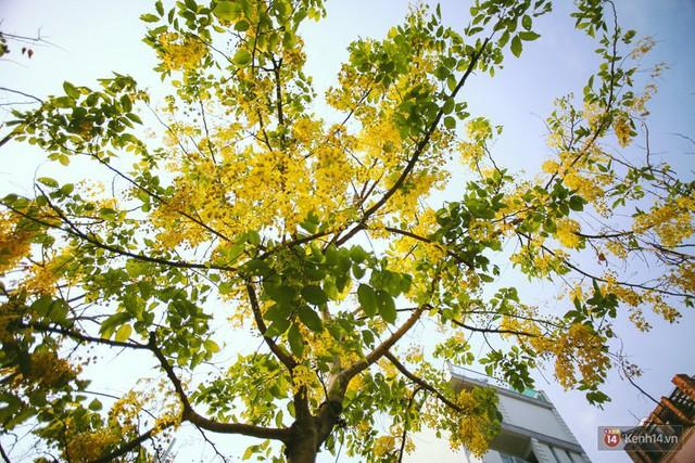 Chùm ảnh: Hoa Osaka rực rỡ nhuộm vàng đường phố Sài Gòn trong cái nắng tháng 4 - Ảnh 5.