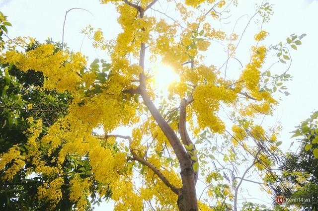 Chùm ảnh: Hoa Osaka rực rỡ nhuộm vàng đường phố Sài Gòn trong cái nắng tháng 4 - Ảnh 6.