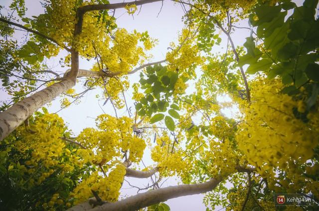 Chùm ảnh: Hoa Osaka rực rỡ nhuộm vàng đường phố Sài Gòn trong cái nắng tháng 4 - Ảnh 7.
