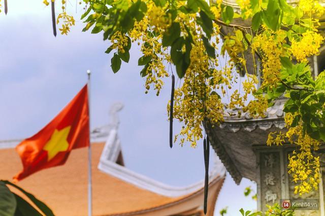 Chùm ảnh: Hoa Osaka rực rỡ nhuộm vàng đường phố Sài Gòn trong cái nắng tháng 4 - Ảnh 8.