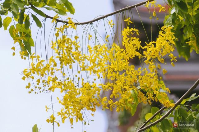 Chùm ảnh: Hoa Osaka rực rỡ nhuộm vàng đường phố Sài Gòn trong cái nắng tháng 4 - Ảnh 9.