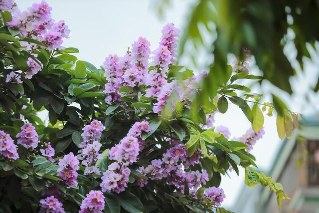 Ngắm hoa bằng lăng nhuộm tím trời Hà Nội - Ảnh 11.