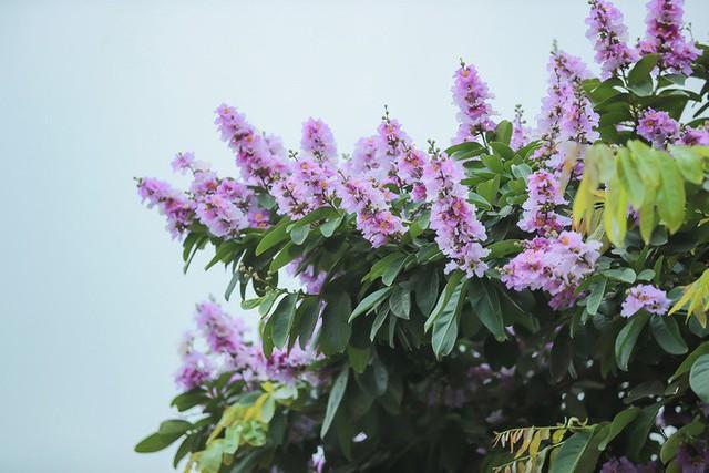 Ngắm hoa bằng lăng nhuộm tím trời Hà Nội - Ảnh 14.