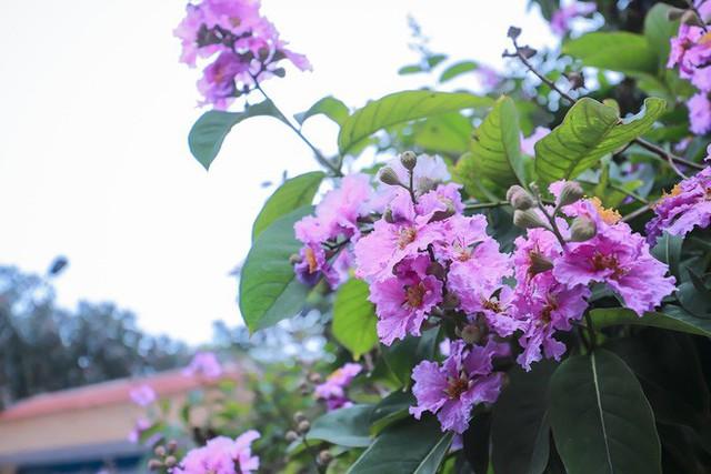Ngắm hoa bằng lăng nhuộm tím trời Hà Nội - Ảnh 15.