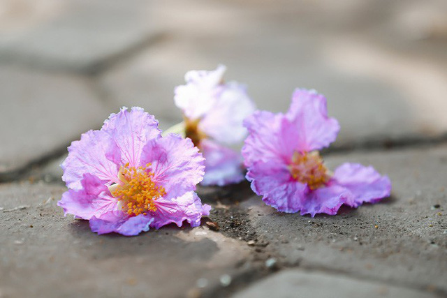 Ngắm hoa bằng lăng nhuộm tím trời Hà Nội - Ảnh 16.