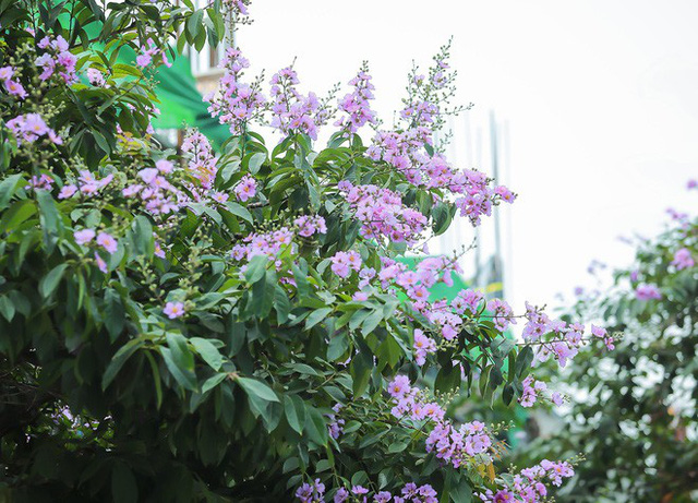 Ngắm hoa bằng lăng nhuộm tím trời Hà Nội - Ảnh 18.