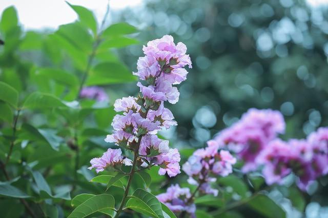 Ngắm hoa bằng lăng nhuộm tím trời Hà Nội - Ảnh 7.