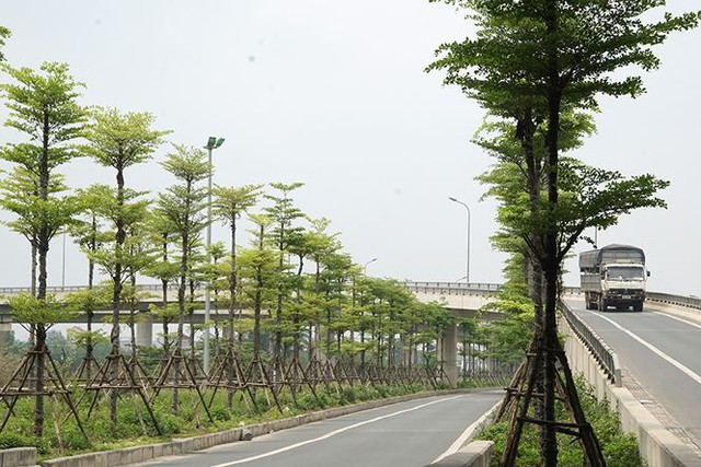 Những hàng cây xanh mướt thẳng tắp ở đầu cầu Thanh Trì - Ảnh 2.