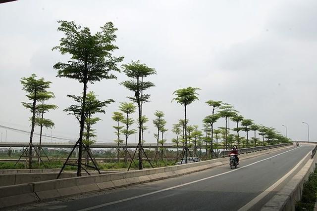 Những hàng cây xanh mướt thẳng tắp ở đầu cầu Thanh Trì - Ảnh 8.