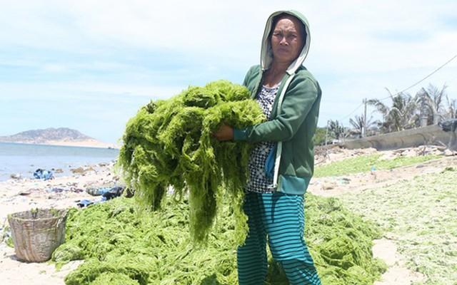 Đi vớt rong biển mỗi ngày người dân bỏ túi 300.000 đồng - Ảnh 1.