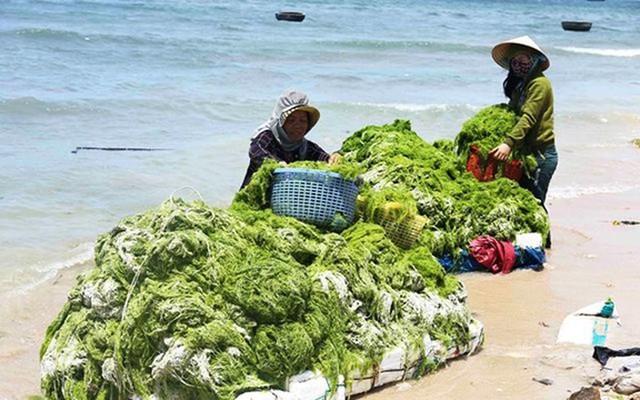 Đi vớt rong biển mỗi ngày người dân bỏ túi 300.000 đồng - Ảnh 2.