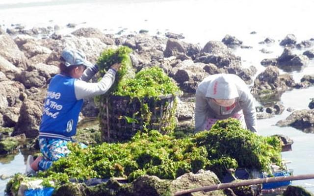 Đi vớt rong biển mỗi ngày người dân bỏ túi 300.000 đồng - Ảnh 3.