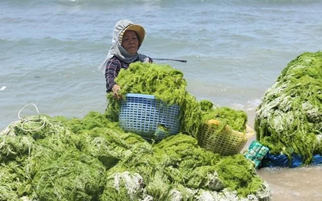 Đi vớt rong biển mỗi ngày người dân bỏ túi 300.000 đồng - Ảnh 4.