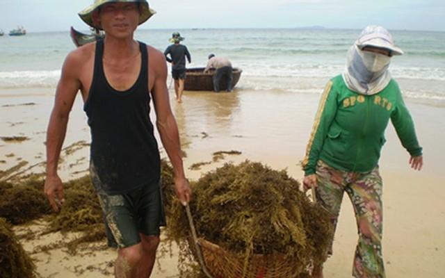 Đi vớt rong biển mỗi ngày người dân bỏ túi 300.000 đồng - Ảnh 5.