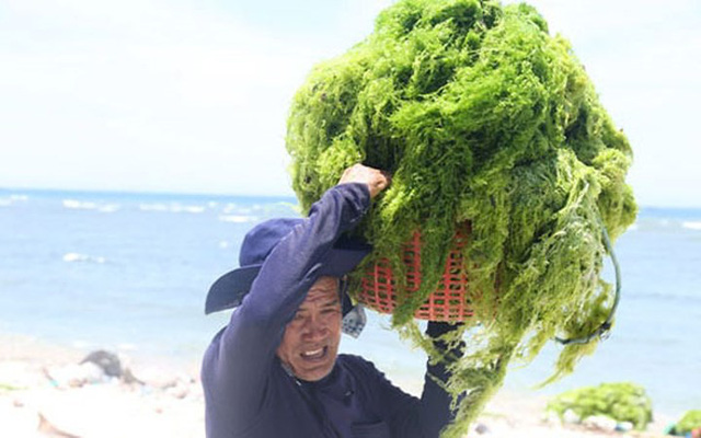 Đi vớt rong biển mỗi ngày người dân bỏ túi 300.000 đồng - Ảnh 7.