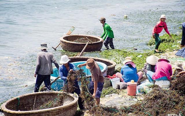 Đi vớt rong biển mỗi ngày người dân bỏ túi 300.000 đồng - Ảnh 8.