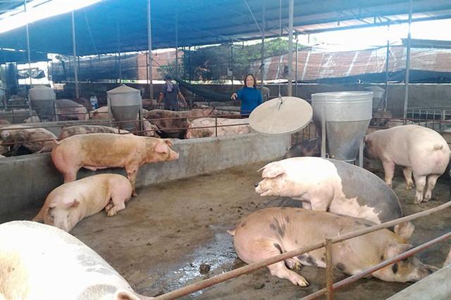 """Lợn """"sốt giá"""", người chăn nuôi tự phát tăng đàn - Ảnh 1."""